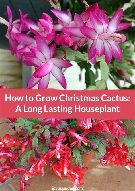 best 25 christmas cactus ideas on pinterest propagating christmas cactus easter cactus and