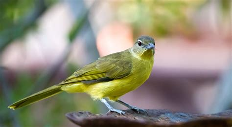 Yellow Belly yellow bellied greenbul