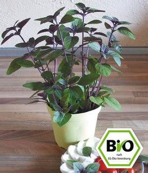 basilikum standort garten basilikum pflege tipps pflanzen pflegen zum standort