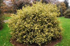 Flowering Evergreen Shrubs - ilex aquifolium golden milkboy landscape architect s pages