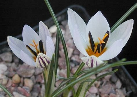 fiori da piantare in autunno fiori da piantare in autunno il crocus biflorus