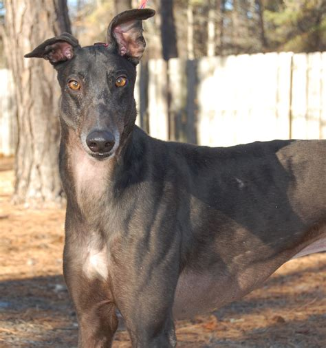 puppy shelters in nj view ad greyhound for adoption new jersey cherry hill