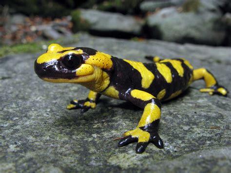 la salamandra fauna en salamandra
