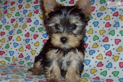 yorkie puppies for sale in arizona terrier yorkie puppy for sale near arizona d3056d43 4ad1