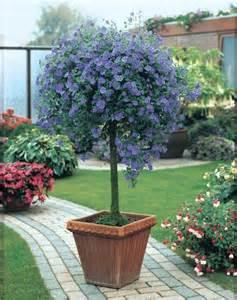 arbre aux gentianes solanum rantonnetii feuillage semi