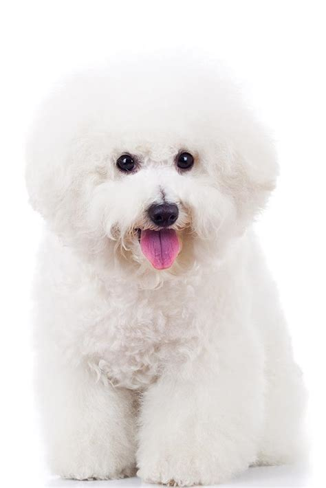 small breeds that look like pugs breed dogs spinningpetsyarn bichon frise