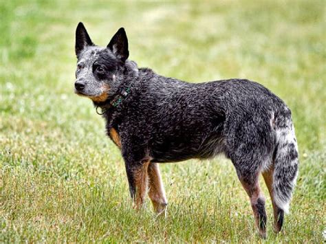 cattle dogs australian cattle justadogg