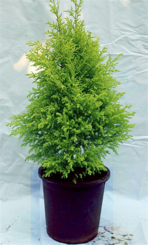 golden cypress  pot patel nursery