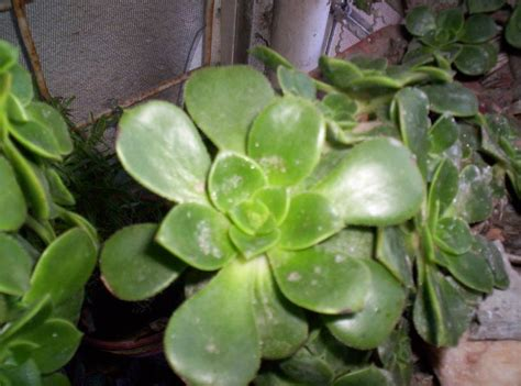 plant identification what succulent is it 1 by