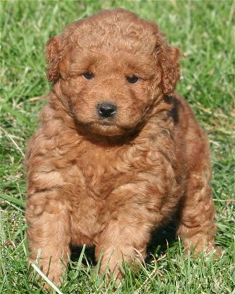 mini goldendoodle how big do they get miniature goldendoodle