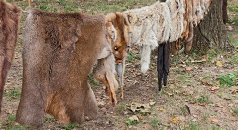 Deer Tanned Cowhide - skills revived how to a deer hide survivopedia