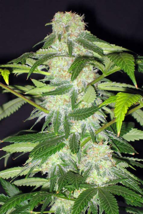 lade marijuana pink bazooka ix 1 chrome seeds seedfinder
