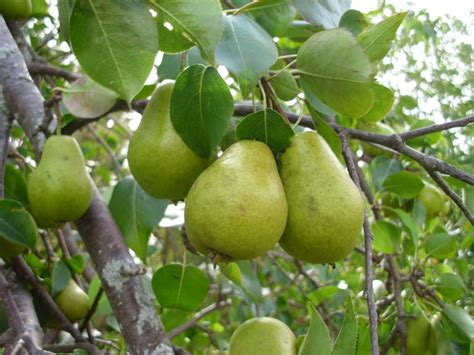 fruit trees ontario icangarden gardening resource site