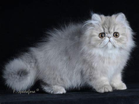 gatti persiani bologna risultati espositivi gattipersiani it gatti persiani