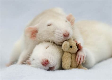 Rats with their teddy bears    The Meta Picture