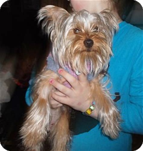 yorkie rescue in ohio oliver 10 lbs 1 yr adopted 16858 mentor oh yorkie terrier