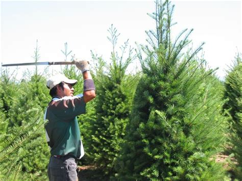 national christmas tree association gt news media gt press
