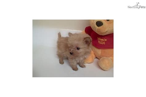 teacup pomapoo puppies for sale puppies pomapoo harley 3 puppies for sale in pa keystone breeds picture