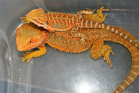 how often do bearded dragons go to the bathroom bearded dragons dragon rancher