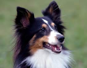 tri color sheltie gentle giants rescue and adoptions