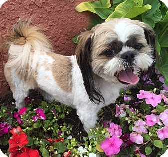 shih tzu rescue los angeles shih tzu for adoption in los angeles california gunner