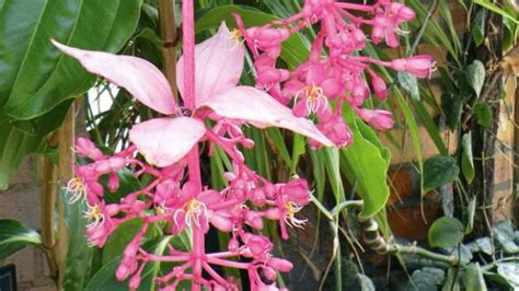 photos of colombia flowers medinilla magnifica medinilla how to grow this malaysian tropical flowering