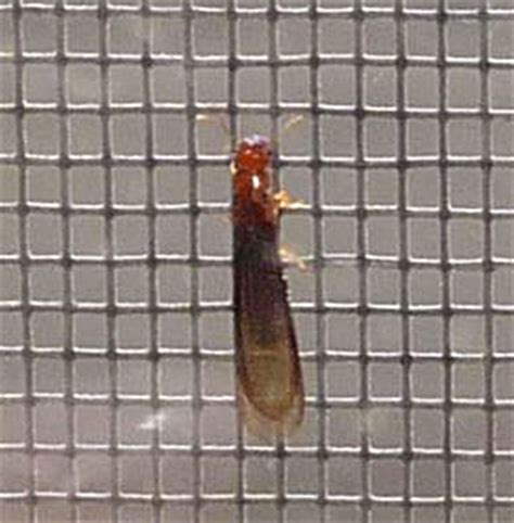 flying termites whats  bug