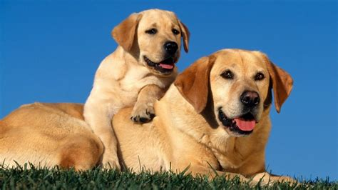 golden retriever and lab puppies golden labrador retriever my home i dogs