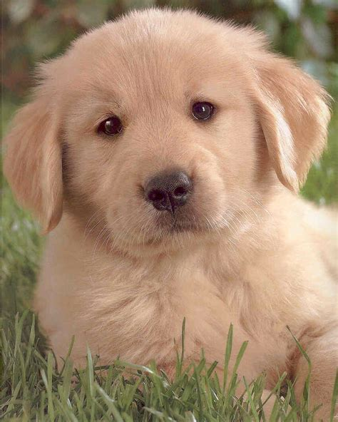 Puppy Golden Retriever golden retriever puppies wallpapers karamba