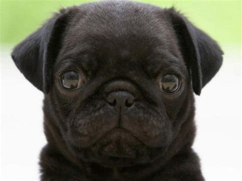 black pug black pug wallpapers wallpaper cave