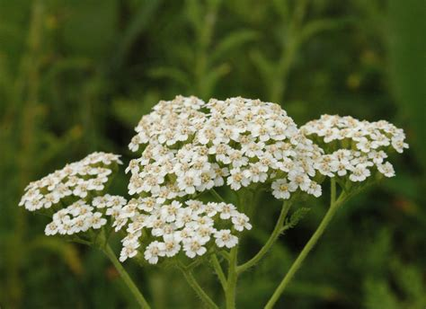 Flower Garden Plants Growing Yarrow Plant How To Grow Yarrow