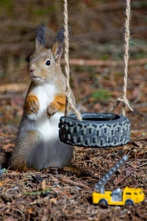 squirrel swing squirrel squirrels chipmunks pinterest