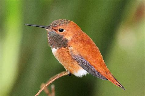 rufous hummingbird on a perch selasphorus rufus