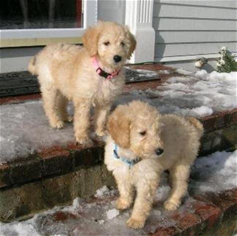 golden retriever breeders ontario reviews golden retriever poodle mix price