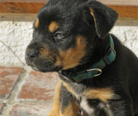rottweiler yorkie mix puppies ea forums