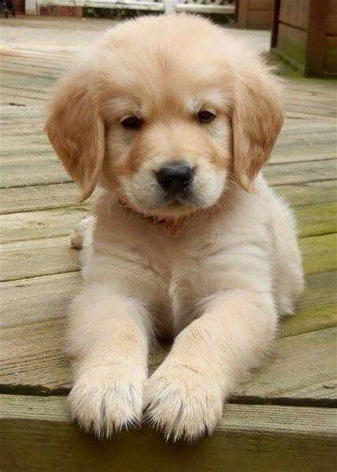 golden retriever puppy biting pictures of golden retriever puppies www pixshark