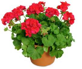 westland greenhouses how to care for gorgeous geraniums