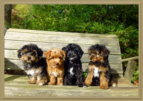 yorkie poo nj how much is a yorkie poo puppy photo