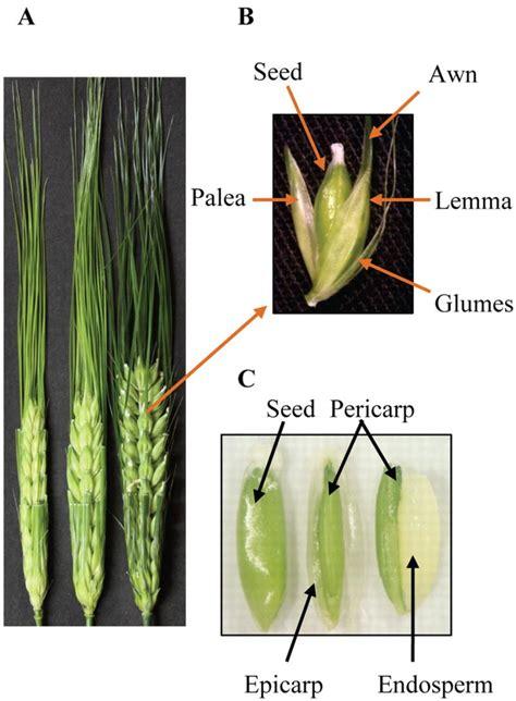 plant awns figure 1