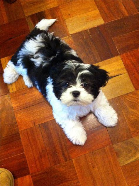 poodle and shih tzu moodle maltese x poodle cross shih tzu 10 weeks shih tzu malteese poodle