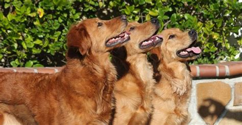 golden retriever island golden retriever breeders island dogs our friends photo