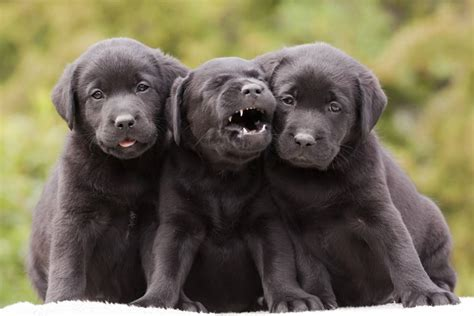 labradors puppies 5 surprising facts about labrador retrievers mnn nature network