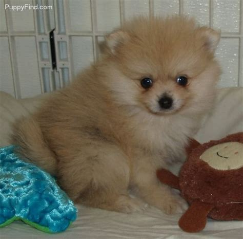 pomeranian stuff pomeranian stuffed animals