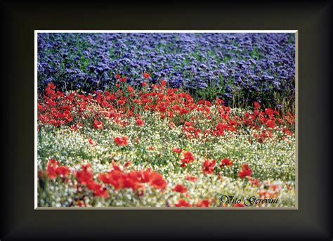 immagini di fiori e piante papaveri e fiori di co foto immagini piante fiori e