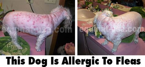 treating allergies in dogs treating flea allergies in dogs