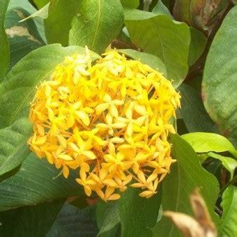 tanaman soka kuning