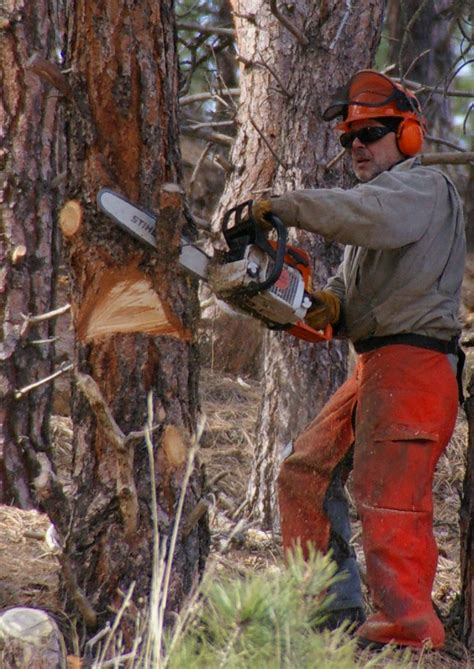cutting a tree down in sections file chainsaw cutting tree jpg wikimedia commons