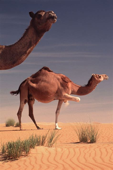 camels domesticated
