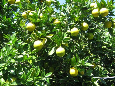 all types of fruit trees pictures to pin on - Types Of Fruit Trees With Pictures