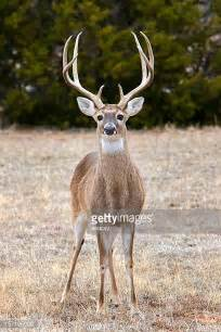 how is buck white white tailed deer stock photos and pictures getty images
